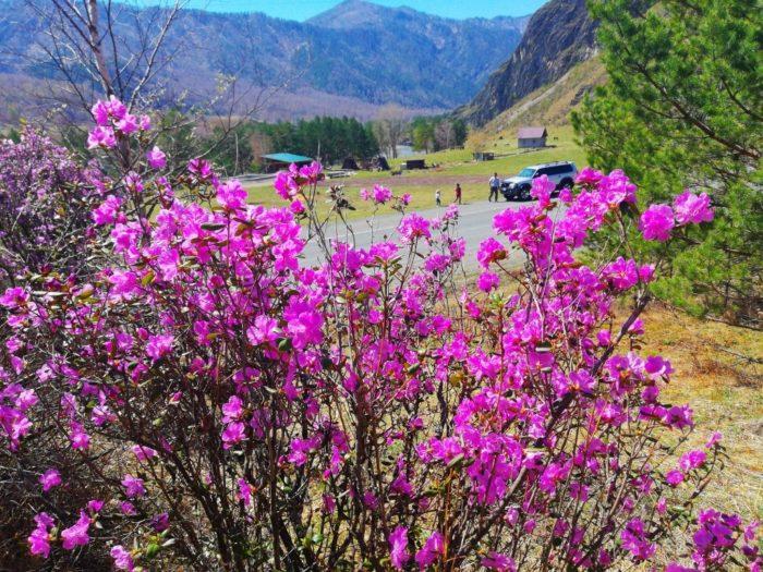 Цветение маральника на Алтае. Алтай весенний.